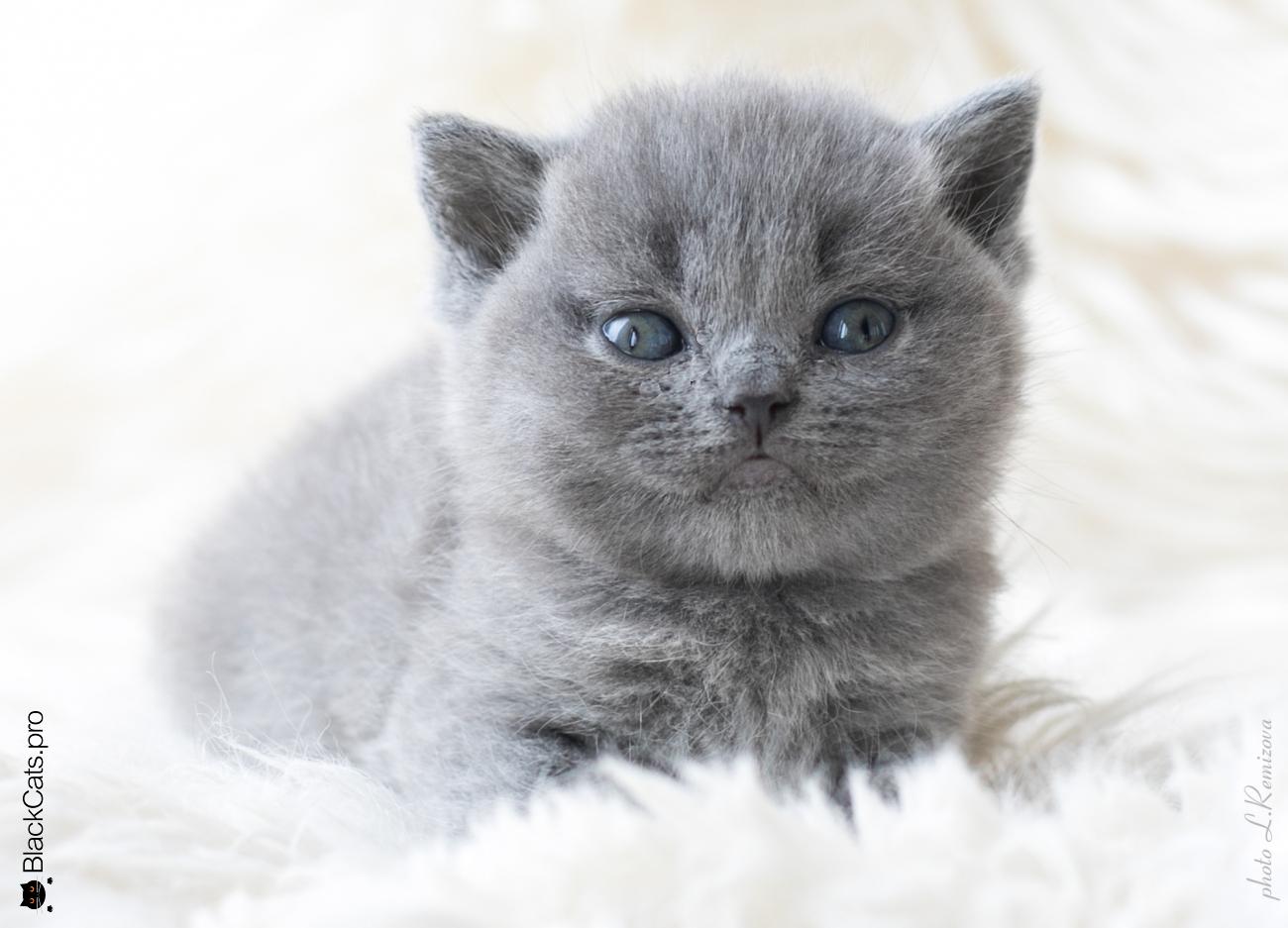купить голубую британскую кошку в Москве