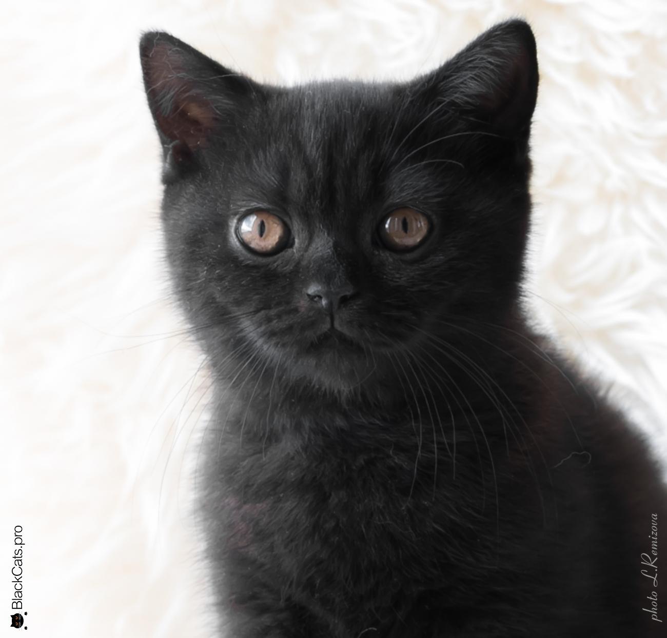 Shahrazad  Black  3 months