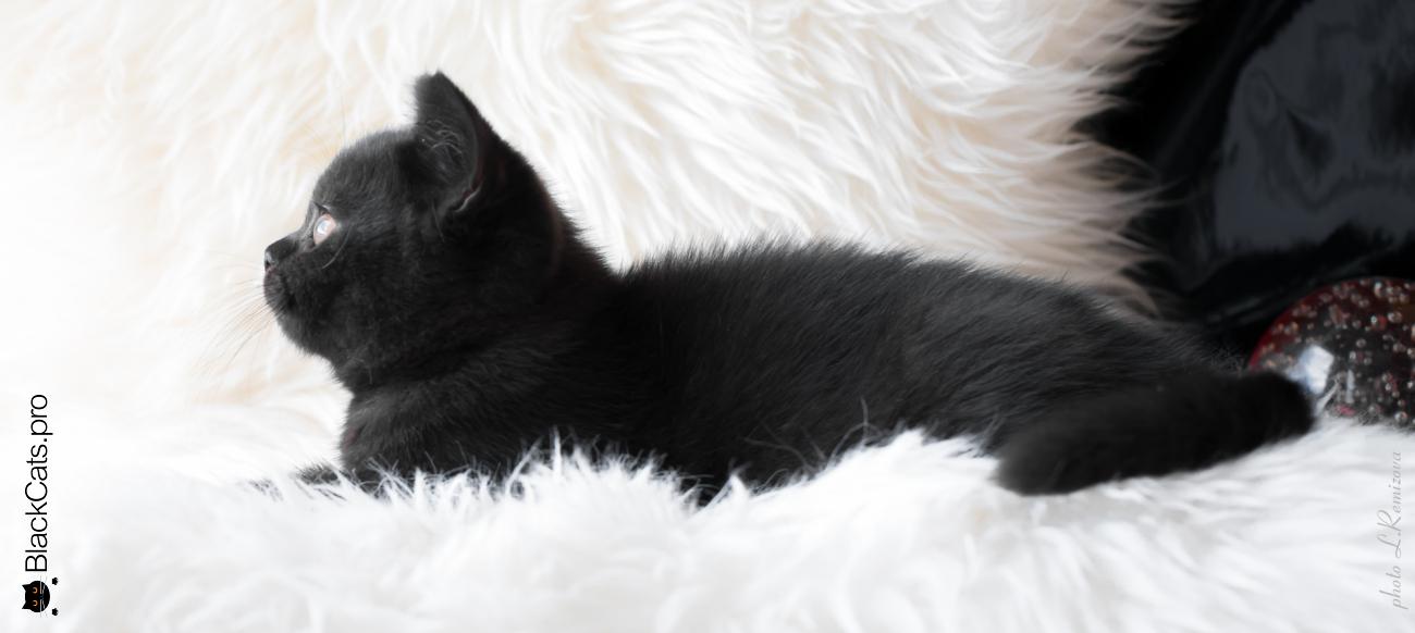 Sambuka  Black  3 months