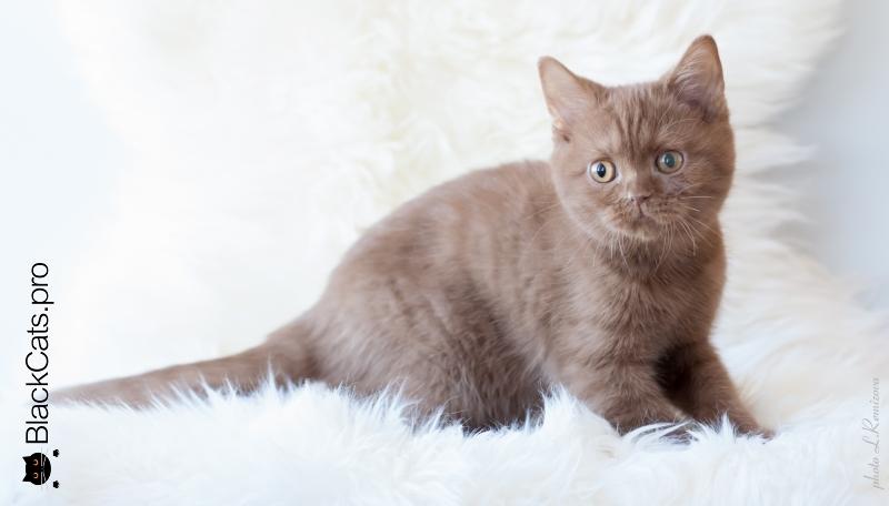 купить циннамоновую кошку