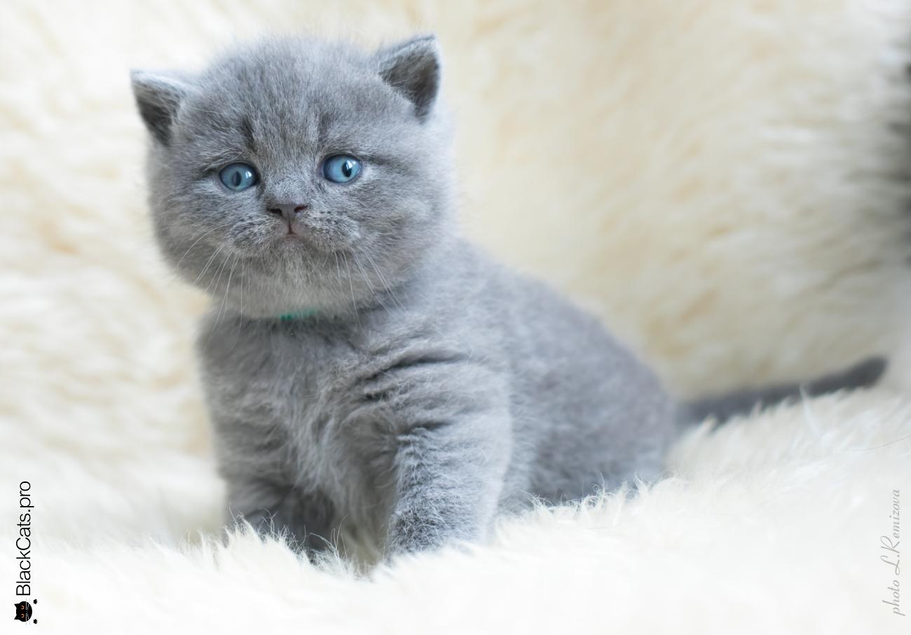купить голубого британского котенка в Москве