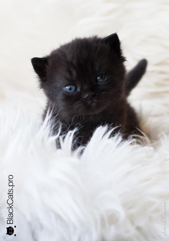 купить черную британскую кошку в Москве