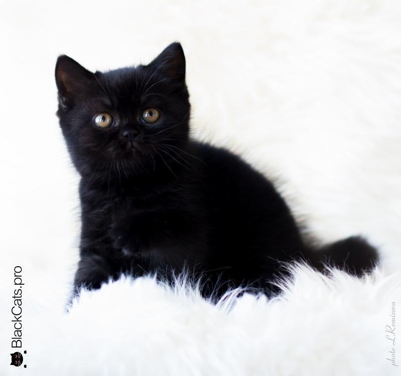 купить черного британского кота в Москве