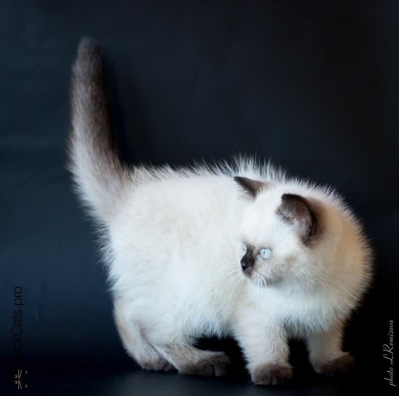 Британская кошка сиамского окраса BRI n 33