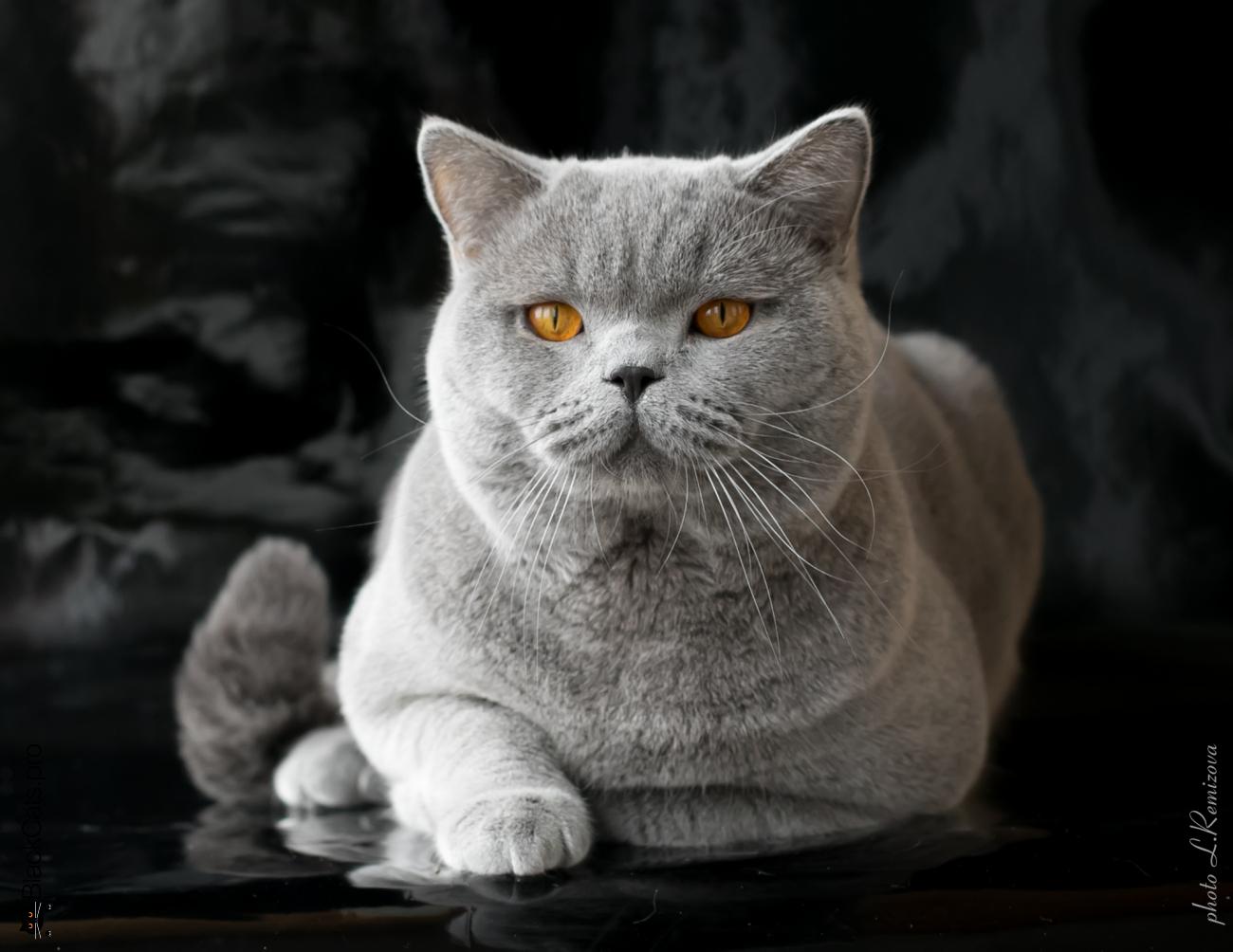 купить голубого британского кота